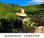 Tea Worker Picking Tea Leaves...