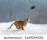 Siberian Tiger Running In The...