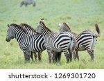 zebra in ngorongoro big... | Shutterstock . vector #1269301720