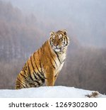 Siberian Tiger Sits On A Snowy...