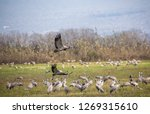 flock of  migrating common... | Shutterstock . vector #1269315610