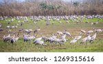 flock of  migrating common... | Shutterstock . vector #1269315616