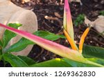 flower of heliconia plant  in... | Shutterstock . vector #1269362830