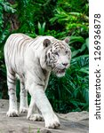 Animal  White Tiger Walking