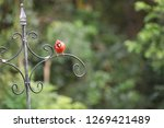 red male northern cardinal... | Shutterstock . vector #1269421489