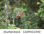 red male northern cardinal... | Shutterstock . vector #1269421540