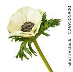 white anemone flower isolated... | Shutterstock . vector #1269505900
