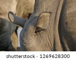 bird in a rhinoceros ear ... | Shutterstock . vector #1269628300