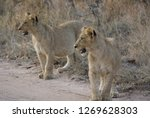 lion cubs on a sand track ... | Shutterstock . vector #1269628303