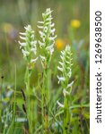 Spiranthes romanzoffiana, commonly known as hooded lady