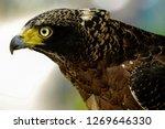 javanese eagle  nisaetus...   Shutterstock . vector #1269646330