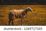 Постер Белый овец с