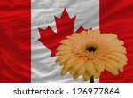 gerbera daisy flower and national flag of canada as concept and symbol of love, beauty, innocence, and positive emotions - stock photo