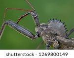 Wheel Bug  Arilus Cristatus  ...