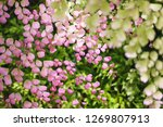 tree vivid pink color of leaves ... | Shutterstock . vector #1269807913