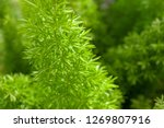 small green leaves  young... | Shutterstock . vector #1269807916