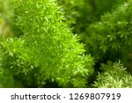 small green leaves  young... | Shutterstock . vector #1269807919