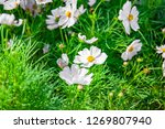 a group of white cosmos flower... | Shutterstock . vector #1269807940