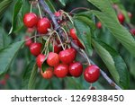 on a tree branch  ripe red... | Shutterstock . vector #1269838450