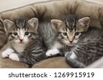 Stock photo kitten twins siblings brother sister tabby cat white paws 1269915919
