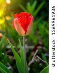 flower red tulip start to bloom ...   Shutterstock . vector #1269961936
