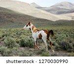 wild stallion northwest nevada...   Shutterstock . vector #1270030990