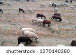 ruminant domestic mammalia.... | Shutterstock . vector #1270140280