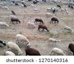 ovine cattle breeding. ruminant ... | Shutterstock . vector #1270140316