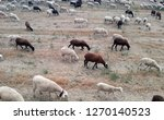 ovine cattle breeding. ruminant ... | Shutterstock . vector #1270140523