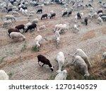 ovine cattle breeding. ruminant ... | Shutterstock . vector #1270140529