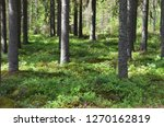 Old spruce wood forest with blueberry bushes in Finland. Spruce/Fir grows in the cold climate zone. Timber is a major export of Finland which can be used for construction and other industries.