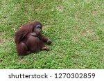 ape  known as orang utan ni asia | Shutterstock . vector #1270302859