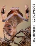 deroplatys truncata is a...   Shutterstock . vector #1270398073