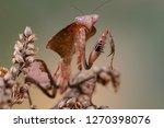 deroplatys truncata is a...   Shutterstock . vector #1270398076
