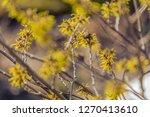hamamelis bloom in winter   Shutterstock . vector #1270413610
