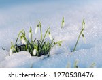 Group Of First Spring Snowdrop...