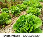 green salad vegetables grow in... | Shutterstock . vector #1270607830