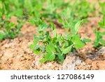 pisum in the garden | Shutterstock . vector #127086149