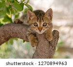 Stock photo cute young cat kitten brown tabby climbing in a tree looking with wide eyes cyclades aegean 1270894963