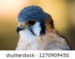 american kestrel close up  | Shutterstock . vector #1270909450