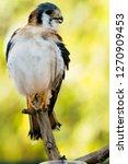 american kestrel against green... | Shutterstock . vector #1270909453