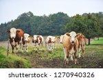 brown cattle in the alps in...   Shutterstock . vector #1270940326