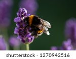 Bee Pollination On A Lavender...