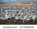 migrating cranes at hula valley ... | Shutterstock . vector #1271006836