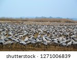 migrating cranes at hula valley ... | Shutterstock . vector #1271006839