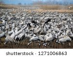 migrating cranes at hula valley ... | Shutterstock . vector #1271006863
