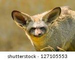 the portrait of bat eared fox | Shutterstock . vector #127105553