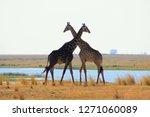 giraffe couple  entwined necks. | Shutterstock . vector #1271060089