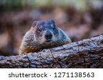 Small photo of A photograph of a Groundhog peering overtop of a log.