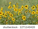 intertwined sunflowers growing... | Shutterstock . vector #1271143420